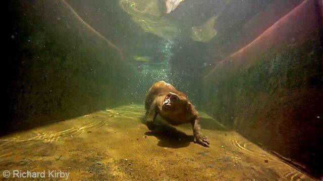 1Underwater Rhesus Macaques