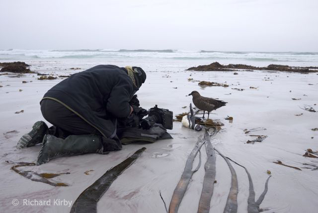 Like all the wildlife on these islands, they have no fear. This is not surprising for this  Megelanic Penguin which is dead, killed by a sealion and washed ashore for the Skuar to scavenge and me to film