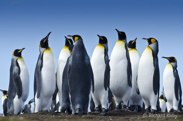 A committee of King Penguins