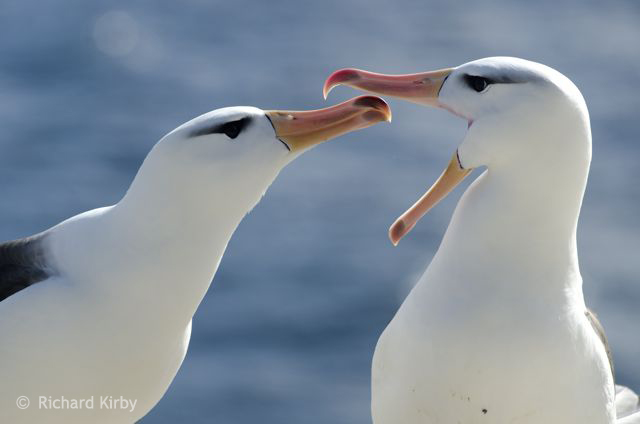 Courtship. Black Browed Albatross pair for life.