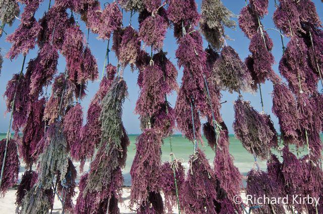 Drying seaweed, Zanzibar_wm