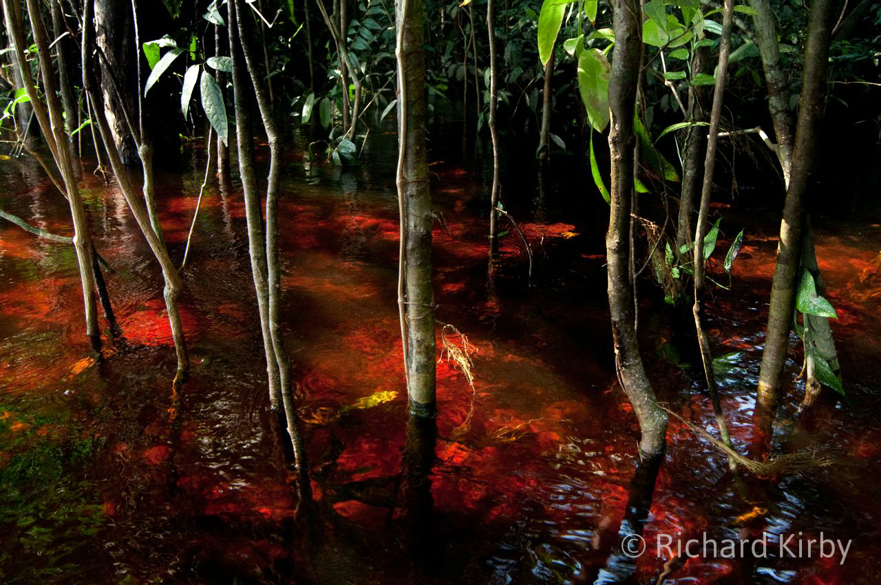 The red waters in the flooded forest of the Rio Negro_wm