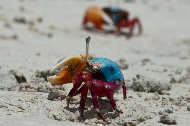 timeframe fiddler crab zanzibar