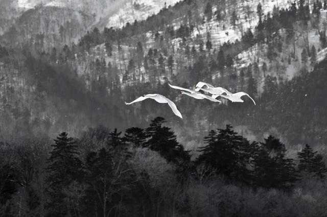 timeframe japan whooper swans(2)
